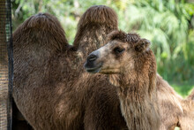 Camel With Two Humps Nature Wi...