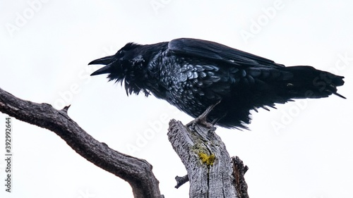 Raven perched on tree brunch with its mouth open by white background Canvas Print