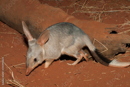 Fotografia Captive Bilby on red soil