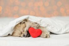 Pomeranian Spitz Puppy Sleeps ...