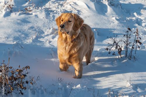 Fotografiet golden retriever in the snow