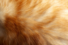Fluffy Ginger And White Fur Wi...