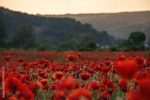 Fototapeta red poppies in the field. wonderful sunny weather. clouds on the sky. beauty of nature concept obraz na płótnie