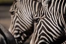 Close Up Of Zebras Heads