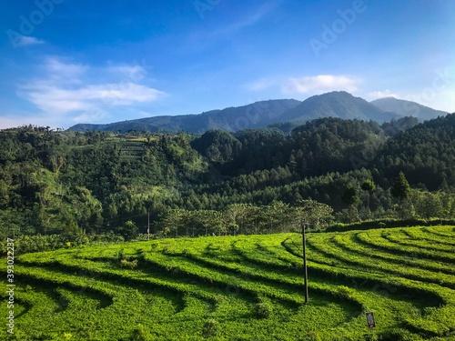 green tea plantation landscape Fotobehang