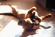 A Funny Dog Of The Dachshund Breed Lies At Home On The Floor Belly Up