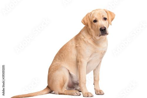 Beauty labrador retriever dog isolated on white background Fototapet