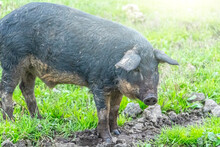 Mangalica Hungarian Breed Of D...