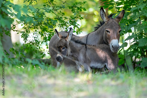 Fotografija donkey foal with mother in the meadow