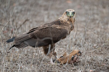 Immature Bateleur Eagle Looking Up Momentarily As He Feasts On The Remains Of An Impala Scull