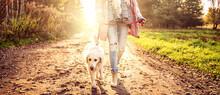Beautiful Young Golden Retriever Dog On A Walk