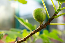 Young Ripening Fig Fruit On A Branch. Stem With Green Figs. Fig Fruit Growth. Ripening Stage Of Figs, Growing Fig Bush.