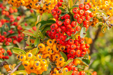 Pyrocantha With Red And Yellow Fruits. Latin Name Is Pyracantha Coccinea