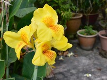 Bright Yellow Canna Flower In A Tropical Garden