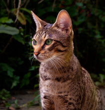 Savannah Cat Exploring A Rural Back Garden.  Confident Cat With Short Spotted Coat And Bright Green Eyes