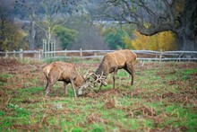 Young Deer Stags Fighting During Mating Season