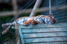 A Big Tiger Sleeping In Its Ne...