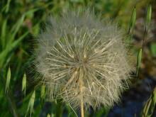 Flower Puff Ball, At Springtime, In Attica, Greece