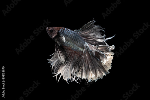 Fotomural Swimming Action of Betta, Siamese fighting fish; Halfmoon silver and white betta isolated on black background