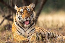 Wild Tigress Portrait With Her...