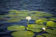 White Blooming Water Lily Grow...