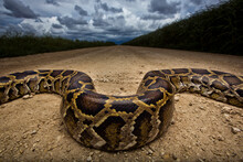 Burmese Python Crawling On Dirt Road Against Storm Clouds