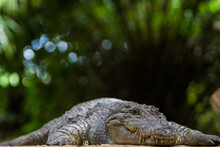 Portrait Of Nile Crocodile On ...