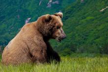 Alaska Peninsula Brown Bear Eating Sedge Grass