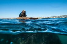 Harbor Seal Lying On Rock In Sea