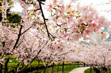 View Of Cherry Blossom Trees I...