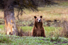 Grizzly Bear Cub Standing In Grand Teton National Park