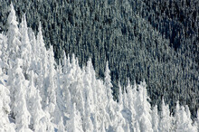 Scenic View Of Forest Trees Covered In Snow