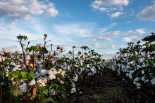 View Of Cotton Field Against C...