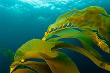 Close Up Of Golden Kelp Fronds...