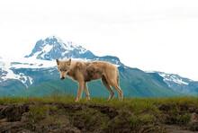 Interior Alaskan Wolf Standing...