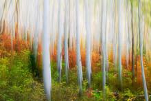 Digital Painting Of Birch Tree...