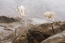 View Of Mountain Goat With Kid...