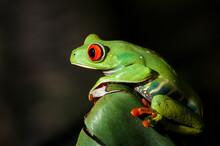 Close Up Of Red Eyed Tree Frog Perching On Leaf