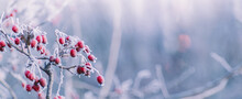 Winter Panorama With Red Berries, Snow And Frost On A Light Background For Decorative Design