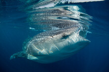 Close Up Of Whale Shark Swimmi...