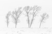 View Of Bare Cottonwood Trees ...
