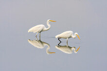 Great Egrets Looking For Food ...