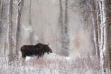 Moose Standing Among Cottonwoo...