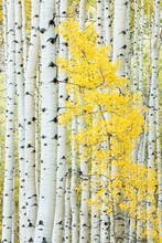 Close Up Of Aspen Trees In Forest