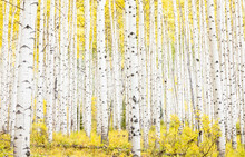 Scenic View Of Aspen Trees In Forest