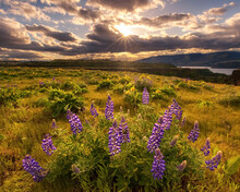 Scenic View Of Wild Lupines In Tom McCall Preserve During Sunset
