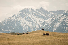 Herd Of Bison Grazing On Grassy Landscape Along Rocky Mountain Front