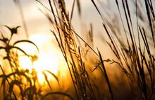 Sun Shining Through Prairie Gr...