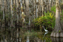 Great White Egret Walking Through Swamp Among Cypress Trees In Big Cypress National Preserve