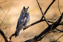 Portrait Of Long Eared Owl Perching On Tree